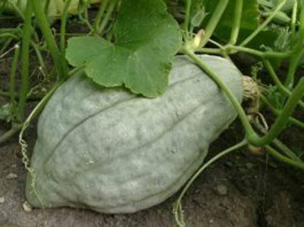 Petaluma Pumpkin Patch Hubbard Squash