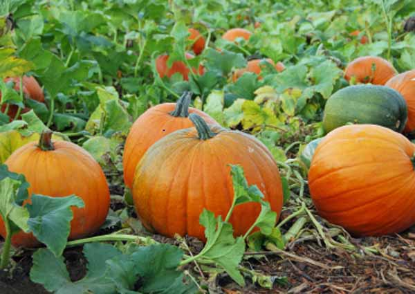 Petaluma Pumpkin Patch Pumpkins