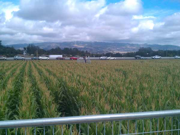 Petaluma Pumpkin Patch Corn Maze